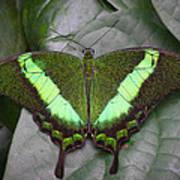 Emerald Swallowtail Buttefly Art Print