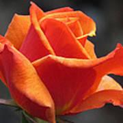 Emerging Red Rose Art Print
