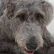 Irish Wolfhound IIi Art Print