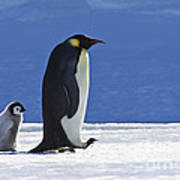 Emperor Penguin And Chick Art Print