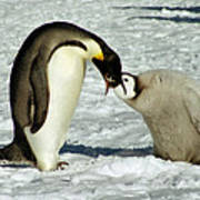 Emperor Penguin Chick Feeding Art Print