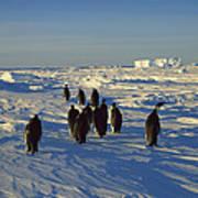 Emperor Penguin Group Walking On Ice Art Print