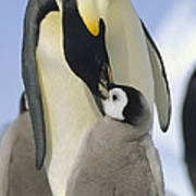 Emperor Penguin Parent Feeding Chick Art Print