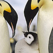 Emperor Penguin Parents With Chick Art Print