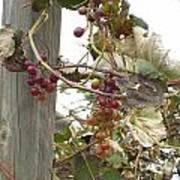 End Of Season Grapes Art Print