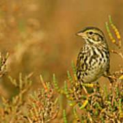 Endangered Beldings Savannah Sparrow - Huntington Beach California Art Print