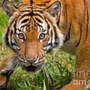 Endangered Species Sumatran Tiger Art Print