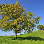 English Black Walnut Tree Switzerland Art Print
