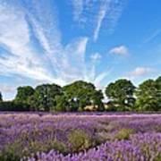 English Lavender Fields In Hampshire Art Print