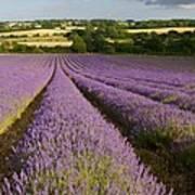 English Lavender Near Alton In Hampshire Art Print