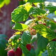 English Raspberries Art Print