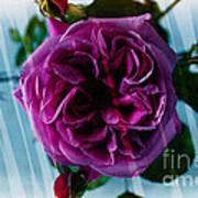 English Rose - Purple Rose - Fragrant Rose Art Print