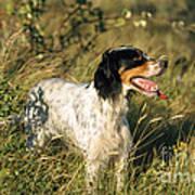 English Setter Dog Art Print