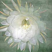 Epiphyllum Oxypetallum - Queen Of The Night Cactus Art Print