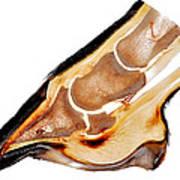 Equine Deep Digital Flexor Tendinitis 30172  Art Print