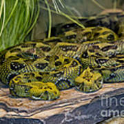 Ethiopian Mountain Vipers Art Print
