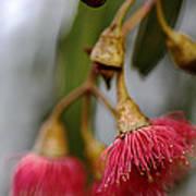 Eucalyptus Flower Art Print