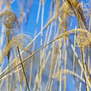 Eulalia Grass Native To East Asia Art Print