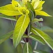 Euphorbia Cornigera 'goldener Turm' Art Print by Science Photo Library