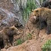 Eurasian Brown Bear 17 Art Print