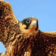 Eurasian Hobby Falco Subbuteo In Art Print