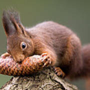 Eurasian Red Squirrel Biting Cone Art Print by Ingo Arndt