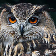 European Eagle Owl  Art Print