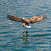 European Flying Sea Eagle 6 Art Print