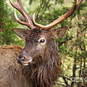 European Red Deer 1 Art Print