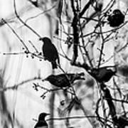 European Starlings Art Print