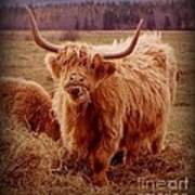 Even Cape Breton Cattle Have Character Art Print