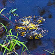 Evening Encloses The Aging Lily Pad Art Print