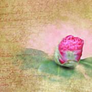 Evening Rosebud Art Print