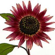 Evening Sun Sunflower 2 Art Print