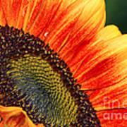 Evening Sun Sunflower Art Print