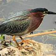 Everglades Green Heron Art Print