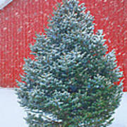 Evergreen In Winter 2 Art Print