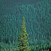 Evergreen Trees Art Print