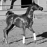 Exercising Horse Bw Art Print
