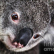 Eye Am Watching You - Koala Art Print