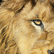 Eye Of The Lion Art Print