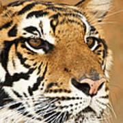 Eye Of The Tiger. Art Print