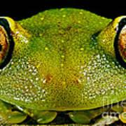 Eye-ringed Bushfrog Art Print