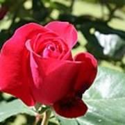 Fabulous Red Rose Art Print