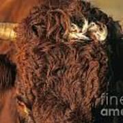 Face Of A Cow Salers. Auvergne . France Art Print by Bernard Jaubert