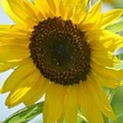 Face To Face With A Sunflower Art Print