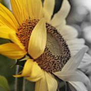 Faded Sunflower Art Print