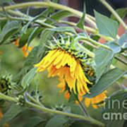 Fading Sunflower Art Print