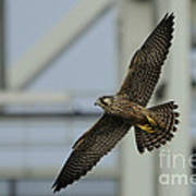 Falcon Flying By Tower Art Print