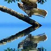Falcon Reflect Art Print